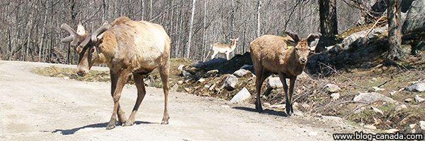 Animaux du Parc Oméga de Montebello (Québec, Canada)